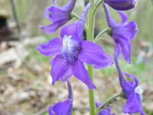 Delphinium tricorne Michx