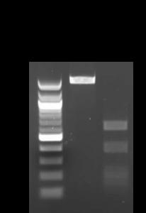 Bacillus marisflavi colony 16-1