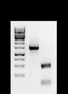 PCR Amp