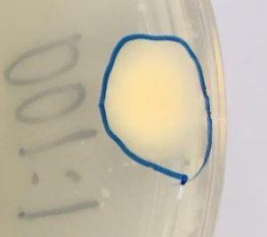 Stenostromonas rhizophila S11