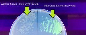 Green Florescent Protein